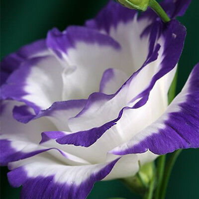 Purple Flower 50 Seeds Plantlet Garden Home Fragrant Free Shipping Beautiful New
