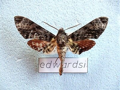 Tetrachroa edwardsi, Sphingidae,  Hawk Moth, Insekten, Entomologie, Entomology