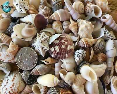 "130+ Small Sea Shells .5"" To 1.25"" Tall - 1 Cup - Large Variety - Crafting"