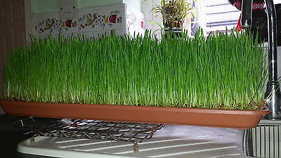 tortiose GRASS SEEDS to grow forchickens quail.budgies/dogs.rabbit.hamster'100g