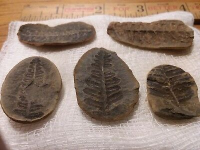 Lot of 5 Small Pecopteris Fern Fossils