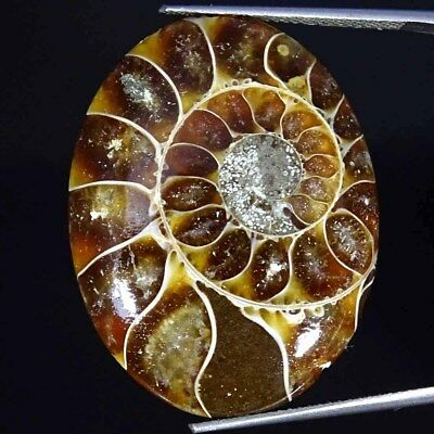 32.70Cts 100% Natural Ammonite Fossil Oval Cabochon Loose Gemstone