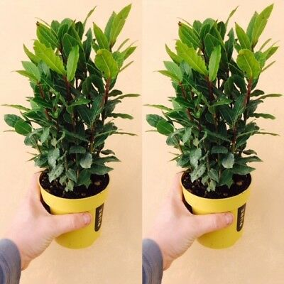 2 x Laurus nobilis / Bay tree, Large Plant 13cm Pot, Cooking Bay Leaf Tree Herb