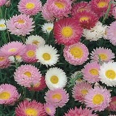Paper Daisy- Helipterum- Mixed Colors- 50 Seeds- BOGO 50% off SALE