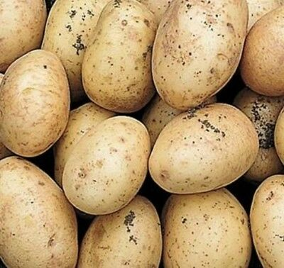 10  x HOME GUARD SEED POTATOES  - FIRST EARLY VARIETY