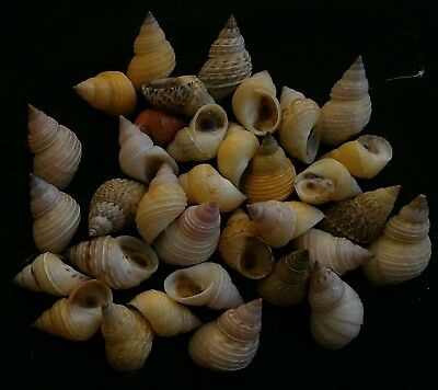 Littoraria pallescens  16.7mm-25.4mm F+++, set of 34pcs., conchology seashells
