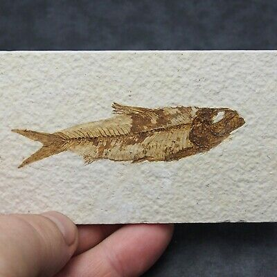 82mm Fossil Fish Knightia eocaena Eocene period Fossilized Fossilien Wioming USA