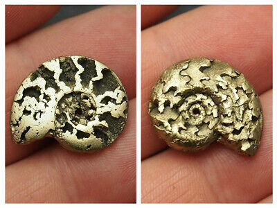 21mm AMMONITE Pyrite Mineral Fossil fossilien Ammoniten France