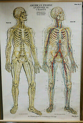 LARGE 1918 Vintage School Anatomy Chart Nervous & Circulatory Wall Map Frohse