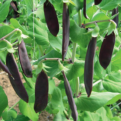 Purple Sugar Pea - Shiraz 20+ Seeds - SWEET & RICH!