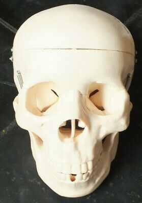 Life Size Human Skull Anatomical Model - Medical Training Aid
