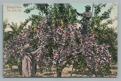 Picking Plums—San Jose—Antique Hand Colored California Orchard—Rare Antique~1910
