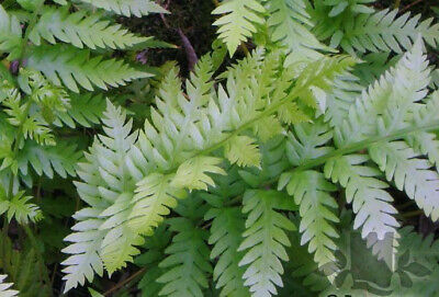Woodwardia fimbriata AGM Fern Hardy architectural tall shade plant