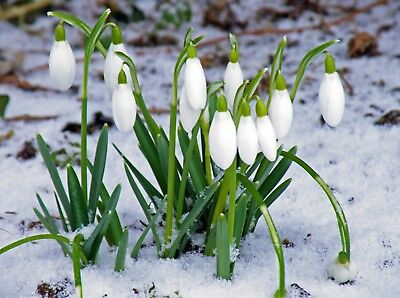 100 Single Snowdrops Galanthus Nivalis  Bulbs Plants In The Green