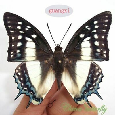 COLLECTION unmounted butterfly Nymphalidae Polyura eudamippus CHINA A1