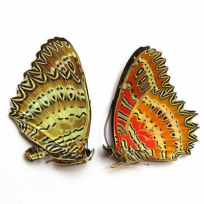 COLLECTION PAIR unmounted butterfly Nymphalidae cethosia biblis CHINA