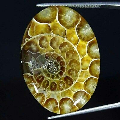 34.90Cts Natural Ammonite Fossil Oval Cabochon Loose Gemstone