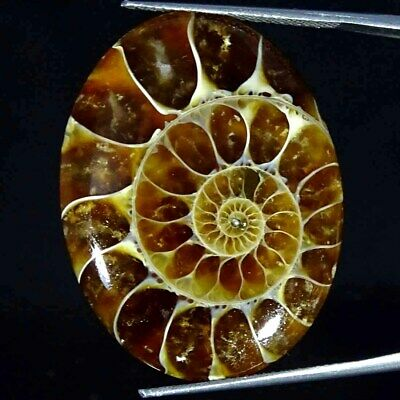 37.60Cts Natural Ammonite Fossil Oval Cabochon Loose Gemstone