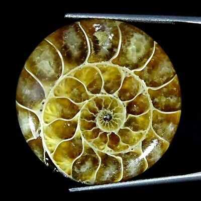 39.60Cts Natural Ammonite Fossil Round Cabochon Loose Gemstone