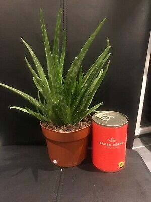 succulent plant Aloe Vera Height 9 Inches Width 9 1/2 Inches ( Quite Heavy )