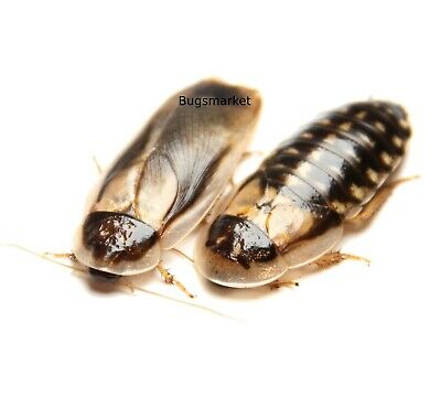 Dubia Roaches, Large Adults Male Female (2, 4, 6, to 20 Roaches), Free Shipping
