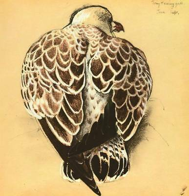 Original Vintage Bird Print Seabirds Young Herring Gull