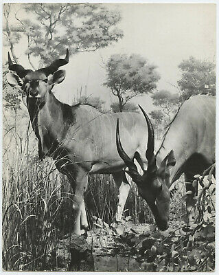Lilo HESS: Greater Kudo, 1950s for LIFE Magazine / PIX / VINTAGE / STAMPED