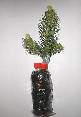 Colorado Blue Spruce, Picea Pungens Glauca Container Grown Plug Plants