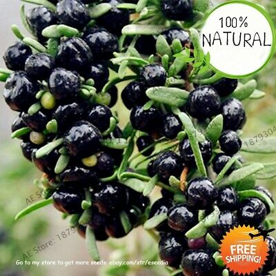 Black Goji Berry Seeds Plants Wolfberry Fruit Bonsai For Home 100pcs/pack
