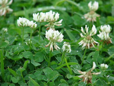 ADVANTAGE LADINO WHITE CLOVER Seed Deer Food Plot Turkey Bees High Protein 5LB