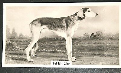 SALUKI   Champion   Superb Original Vintage Photo Card  CAT A