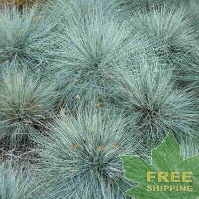 BLUE SHEEP FESCUE Festuca Ovina Glauca - 10 SEEDS. FREE S&H