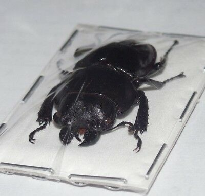 SPREAD DORYSTHENES BUQUETI REAL INSECT LONGHORN BEETLE INDONESIA TAXIDERMY