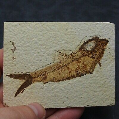 93mm Fossil Fish Knightia eocaena Eocene priod Fossilized Fossilien Wioming USA