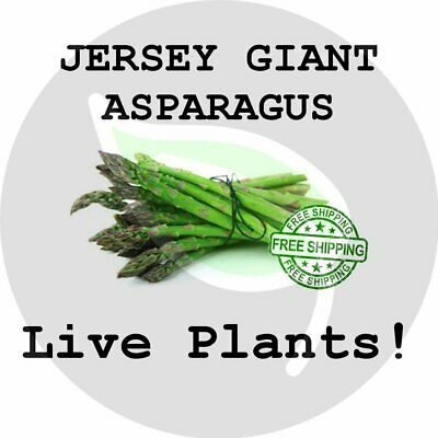 JERSEY GIANT - Asparagus Crowns (Plants, Roots) Live Garden Planting Non-GMO