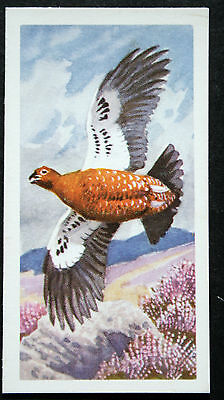 Red Grouse  Vintage Illustrated Card #  CAT K