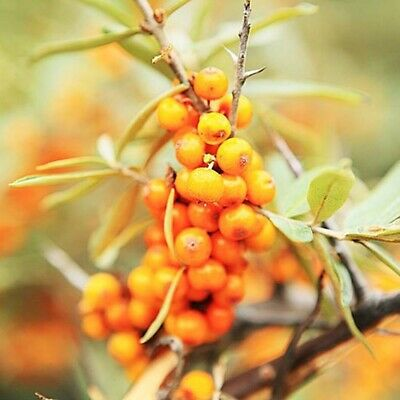 110 PCS  Graines Argousier Sea Buckthorn Hippophae Rhamnoides Seeds Plants