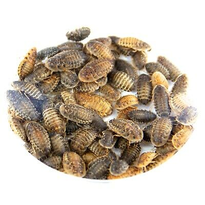 10 to 200 Medium Dubia Roaches (10-20mm) - Reptile Livefood Blaptica