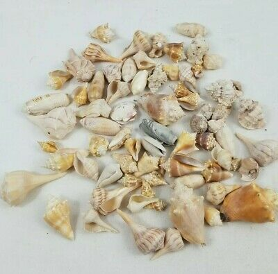 2 lbs Seashells Sea Shells, pictured are of the actual shells you get FREE Ship