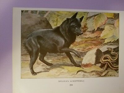 Louis A Fuertes SCHIPPERKE bookplate from 1919 National Geographic Magazine