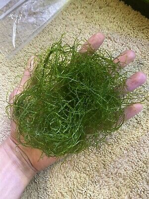 **Free Shipping** Java Moss Fresh Water Aquarium Live Aquatic Plant 10 Grams