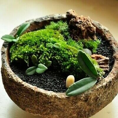 500Pcs Green Moss Seeds Rare Exotic Viable Bonsai Plant Potted Decorative Garden