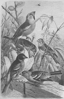 German/European Finches Chaffinch Hawfinch others Birds 1870's-1880's