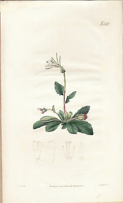 Notting Wall-cress Curtis Flowers hand colored copperplate 1812 pl.2219