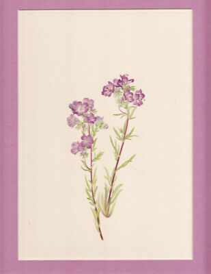 Sand Phacelia   North American Wildflower color litho. 1925 LtdEd matted p.197