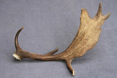 Naturally Shed Wild Fallow Deer Antler (Horn, Knife, Carving, Chew, Taxidermy)