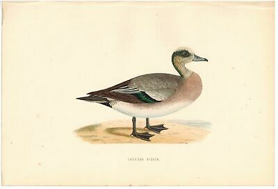 American Wigeon 1870 Morris Antique Hand Color Bird Duck Print
