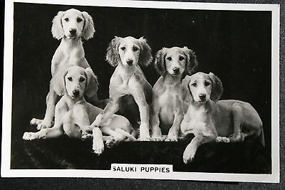 SALUKI PUPPIES   1930's Original Vintage Photo Card  VGC