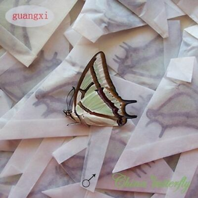 WHOLESALE 50 PCS unmounted butterfly Nymphalidae Polyura narcaea A1
