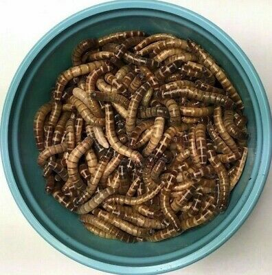 100 Large Superworms, Free Shipping and LIVE ARRIVAL GUARANTEE